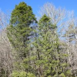 Sasi/St predator beetle assisted hemlock restoration