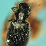 Laricobius nigrinus