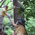 Sasi predator beetle release on large Carolina hemlock