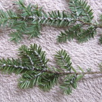 HWA infested hemlock twigs showing before/after of Sasi/St predation